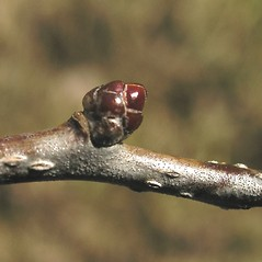 Winter buds: Crataegus succulenta. ~ By Bruce Patterson. ~ Copyright © 2017 Bruce Patterson. ~ foxpatterson[at]comcast.net