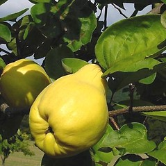 Fruits: Cydonia oblonga. ~ By Leo Michels. ~  Public Domain. ~  ~ Imagines Plantarum - www.imagines-plantarum.de/
