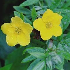 Flowers: Dasiphora floribunda. ~ By Arieh Tal. ~ Copyright © 2018 Arieh Tal. ~ http://botphoto.com/ ~ Arieh Tal - botphoto.com