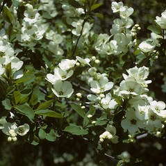 Flowers: Exochorda racemosa. ~ By Richard A. Howard. ~ Copyright © 2019 Richard A. Howard Image Collection, courtesy of the Smithsonian Institution . ~ For permission and usage agreements: http://botany.si.edu/PlantImages ~ Courtesy of Smithsonian Institution, National Museum of Natural History, Department of Botany, Plant Image Collection; botany.si.edu/PlantImages/