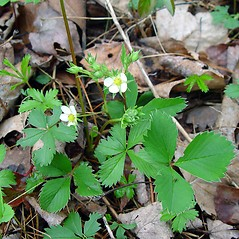 Plant form: Fragaria virginiana. ~ By Arthur Haines. ~ Copyright © 2018. ~ arthurhaines[at]wildblue.net
