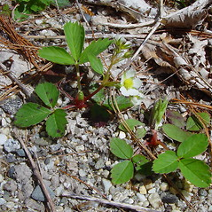 Plant form: Fragaria virginiana. ~ By Arthur Haines. ~ Copyright © 2017. ~ arthurhaines[at]wildblue.net