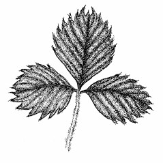 Leaves: Fragaria virginiana. ~ By Elizabeth Farnsworth. ~ Copyright © 2018 New England Wild Flower Society. ~ Image Request, images[at]newenglandwild.org