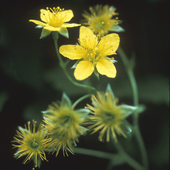 Flowers: Geum fragarioides. ~ By Dorothy Long. ~ Copyright © 2020 New England Wild Flower Society. ~ Image Request, images[at]newenglandwild.org