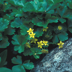 Plant form: Geum fragarioides. ~ By John Lynch. ~ Copyright © 2020 New England Wild Flower Society. ~ Image Request, images[at]newenglandwild.org