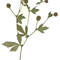 Plant form: Geum laciniatum. ~ By Missouri Botanical Garden. ~ Copyright © 2017 CC-BY-NC-SA. ~  ~ Tropicos, Missouri Botanical Garden - www.tropicos.org