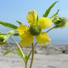 Flowers: Geum macrophyllum. ~ By Glen Mittelhauser. ~ Copyright © 2018 Glen Mittelhauser. ~ www.mainenaturalhistory.org