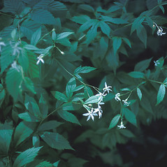 Leaves: Gillenia trifoliata. ~ By Albert Bussewitz. ~ Copyright © 2018 New England Wild Flower Society. ~ Image Request, images[at]newenglandwild.org