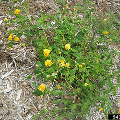 Plant form: Kerria japonica. ~ By Jennifer Olson. ~ Copyright © 2018 CC BY-NC 3.0. ~  ~ Bugwood - www.bugwood.org/