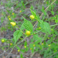Leaves: Kerria japonica. ~ By Arthur Haines. ~ Copyright © 2020. ~ arthurhaines[at]wildblue.net