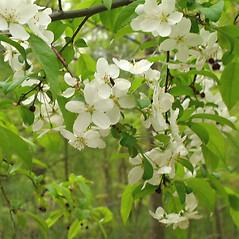 Flowers: Malus baccata. ~ By Alexey Zinovjev. ~ Copyright © 2019. ~ webmaster[at]salicicola.com ~ Salicicola - www.salicicola.com/