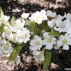 Flowers: Malus floribunda. ~ By Dow Gardens. ~ Copyright © 2018 CC BY-NC 3.0. ~  ~ Bugwood - www.bugwood.org/