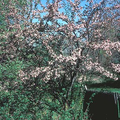 Plant form: Malus floribunda. ~ By Jean Baxter. ~ Copyright © 2019 New England Wild Flower Society. ~ Image Request, images[at]newenglandwild.org