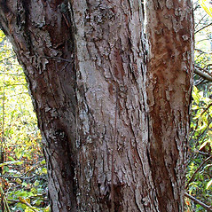 Bark: Malus prunifolia. ~ By Andrew Nelson. ~ Copyright © 2020 Andrew Nelson. ~ andrew.nelson[at]oswego.edu   ~ Flora of Rice Creek Field Station - www.oswego.edu/academics/opportunities/rice_creek_field_station