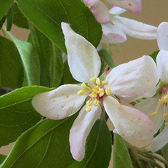 Flowers: Malus prunifolia. ~ By Andrew Nelson. ~ Copyright © 2020 Andrew Nelson. ~ andrew.nelson[at]oswego.edu   ~ Flora of Rice Creek Field Station - www.oswego.edu/academics/opportunities/rice_creek_field_station