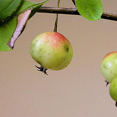 Fruits: Malus prunifolia. ~ By Andrew Nelson. ~ Copyright © 2020 Andrew Nelson. ~ andrew.nelson[at]oswego.edu   ~ Flora of Rice Creek Field Station - www.oswego.edu/academics/opportunities/rice_creek_field_station
