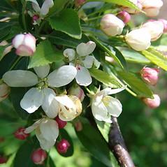 Flowers: Malus sieboldii. ~ By Arnold Arboretum. ~ Copyright © 2019 Arnold Arboretum. ~ Arnold Arboretum Horticultural Library, hortlib[at]arnarb.harvard.edu