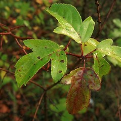 Leaves: Malus sieboldii. ~ By Anthony Reznicek. ~ Copyright © 2019 Anthony Reznicek. ~ No permission needed for non-commercial uses, with proper credit ~ U. of Michigan Herbarium - herbarium.lsa.umich.edu/