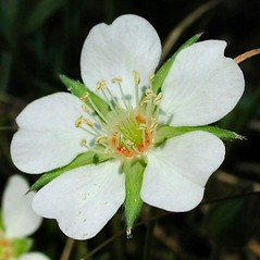 Flowers: Potentilla alba. ~ By Franco Guadagni. ~ Copyright © 2018 Franco Guadagni. ~ Any use permitted, no permission required ~ Acta Plantarum -  www.actaplantarum.org
