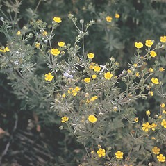 Plant form: Potentilla argentea. ~ By Adelaide Pratt. ~ Copyright © 2020 New England Wild Flower Society. ~ Image Request, images[at]newenglandwild.org