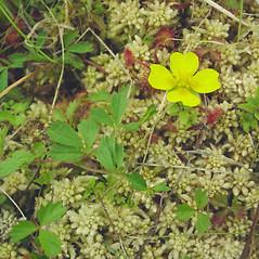Flowers: Potentilla canadensis. ~ By Glen Mittelhauser. ~ Copyright © 2018 Glen Mittelhauser. ~ www.mainenaturalhistory.org