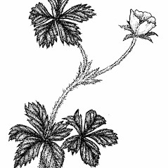 Plant form: Potentilla canadensis. ~ By Elizabeth Farnsworth. ~ Copyright © 2019 New England Wild Flower Society. ~ Image Request, images[at]newenglandwild.org