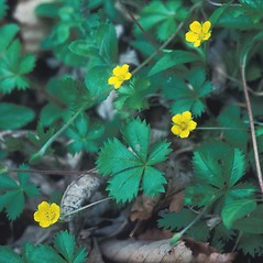 Leaves: Potentilla canadensis. ~ By Mary Walker. ~ Copyright © 2019 New England Wild Flower Society. ~ Image Request, images[at]newenglandwild.org