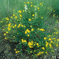 Plant form: Potentilla gracilis. ~ By Dave Powell. ~ Copyright © 2017 CC BY-NC 3.0. ~  ~ Bugwood - www.bugwood.org/