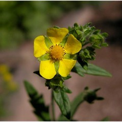 Flowers: Potentilla inclinata. ~ By Andrea Moro. ~ Copyright © 2018 CC BY-NC-SA 3.0. ~  ~ luirig.altervista.org/flora/taxa/north-america.php
