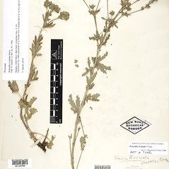Plant form: Potentilla inclinata. ~ By William and Linda Steere and the C.V. Starr Virtual Herbarium. ~ Copyright © 2020 William and Linda Steere and the C.V. Starr Virtual Herbarium. ~ Barbara Thiers, Director; bthiers[at]nybg.org ~ C.V. Starr Herbarium - NY Botanical Gardens