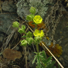 Flowers: Potentilla litoralis. ~ By Glen Mittelhauser. ~ Copyright © 2019 Glen Mittelhauser. ~ www.mainenaturalhistory.org