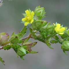 Flowers: Potentilla norvegica. ~ By Arieh Tal. ~ Copyright © 2018 Arieh Tal. ~ http://botphoto.com/ ~ Arieh Tal - botphoto.com