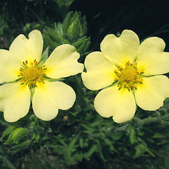 Flowers: Potentilla recta. ~ By Marilee Lovit. ~ Copyright © 2020 Marilee Lovit. ~ lovitm[at]gmail.com