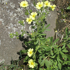 Plant form: Potentilla recta. ~ By Bruce Patterson. ~ Copyright © 2020 Bruce Patterson. ~ foxpatterson[at]comcast.net