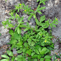 Plant form: Potentilla rivalis. ~ By Gerry Carr. ~ Copyright © 2019 Gerry Carr. ~ gdcarr[at]comcast.net ~ Oregon Flora Image Project - www.botany.hawaii.edu/faculty/carr/ofp/ofp_index.htm
