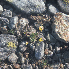 Plant form: Potentilla robbinsiana. ~ By Mary Walker. ~ Copyright © 2017 New England Wild Flower Society. ~ Image Request, images[at]newenglandwild.org