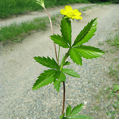 Leaves: Potentilla simplex. ~ By Donna Kausen. ~ Copyright © 2020 Donna Kausen. ~ 33 Bears Den, Addison, ME 04606