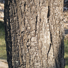 Bark: Prunus alleghaniensis. ~ By Bruce Patterson. ~ Copyright © 2017 Bruce Patterson. ~ foxpatterson[at]comcast.net