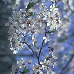 Flowers: Prunus americana. ~ By Frank Bramley. ~ Copyright © 2017 New England Wild Flower Society. ~ Image Request, images[at]newenglandwild.org