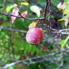 Fruits: Prunus americana. ~ By Arthur Haines. ~ Copyright © 2017. ~ arthurhaines[at]wildblue.net