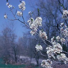Plant form: Prunus americana. ~ By Frank Bramley. ~ Copyright © 2017 New England Wild Flower Society. ~ Image Request, images[at]newenglandwild.org