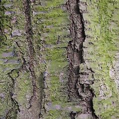 Bark: Prunus avium. ~ By Robert Vid_ki. ~ Copyright © 2019 CC BY-NC 3.0. ~  ~ Bugwood - www.bugwood.org/