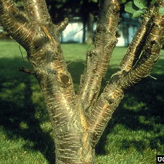 Bark: Prunus avium. ~ By Richard Webb. ~ Copyright © 2018 CC BY-NC 3.0. ~  ~ Bugwood - www.bugwood.org/