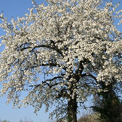 Plant form: Prunus avium. ~ By Robert Vid_ki. ~ Copyright © 2019 CC BY-NC 3.0. ~  ~ Bugwood - www.bugwood.org/