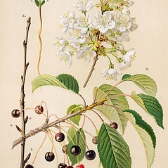 Plant form: Prunus avium. ~ By Zelimir Borzan. ~ Copyright © 2017 CC BY-NC 3.0. ~  ~ Bugwood - www.bugwood.org/