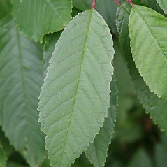 Leaves: Prunus avium. ~ By Robert Vid_ki. ~ Copyright © 2020 CC BY-NC 3.0. ~  ~ Bugwood - www.bugwood.org/