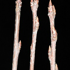 Winter buds: Prunus avium. ~ By Robert Vid_ki. ~ Copyright © 2020 CC BY-NC 3.0. ~  ~ Bugwood - www.bugwood.org/