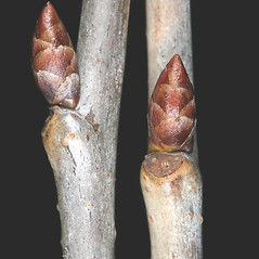 Winter buds: Prunus avium. ~ By Robert Vid_ki. ~ Copyright © 2017 CC BY-NC 3.0. ~  ~ Bugwood - www.bugwood.org/