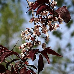 Flowers: Prunus cerasifera. ~ By Paul S. Drobot. ~ Copyright © 2019 Paul S. Drobot. ~ www.plantstogrow.com, www.plantstockphotos.com ~ Robert W. Freckmann Herbarium, U. of Wisconsin-Stevens Point