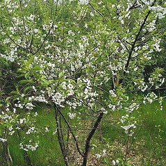Plant form: Prunus cerasus. ~ By Franco Giordana. ~ Copyright © 2018 Franco Giordana. ~ francogrd[at]gmail.com ~ Acta Plantarum -  www.actaplantarum.org